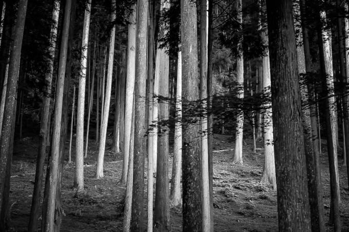 Kyoto Trees