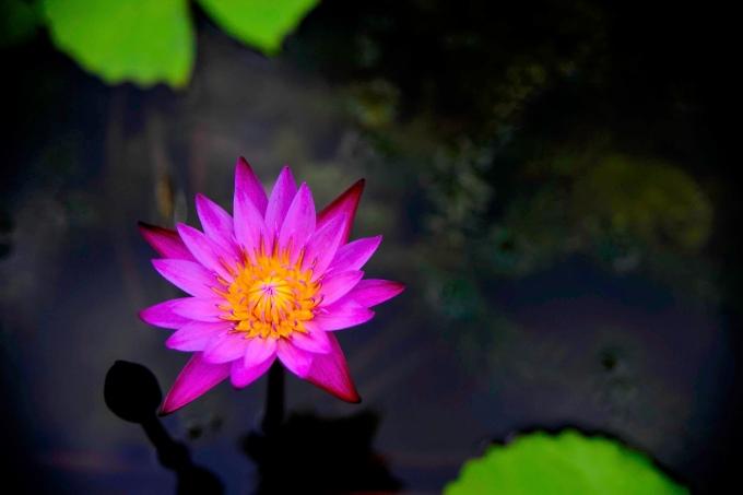 Purple Lily-2