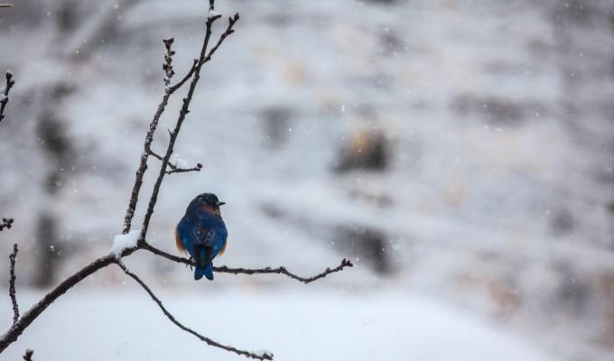 Bluebird…