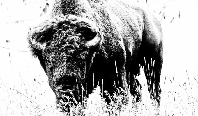 Where the buffalo… youknow…